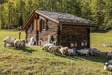 La cabane et le troupeau